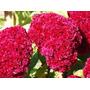 Celósia Cristata Dobrada Suspiro Dobrado Sementes Flor Mudas