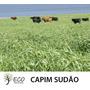 Capim Sudão 2kg Sementes Frete Gratis
