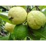 50 Sementes De Goiaba Branca - Árvore Frutífera Nativa