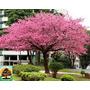 Sementes De Cerejeira Do Japão Para Mudas Árvore Ou Bonsai