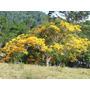 Sementes De Flamboyant Amarelo Para Mudas Ou Árvore