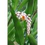 Colônia - Alpínia Zerumbet - Flores Tropicais