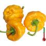 Pimenta Bunda Jamaican Yellow 20 Sementes Frete 2,00 Carta