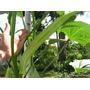 Sementes De Quiabo Gigante Tamanho Medio 30 A 45 Cm