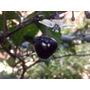 60 Sementes De Pimenta Bode Roxa