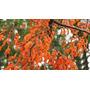 40 Sementes De Erythrina ! Linda Árvore Nativa!