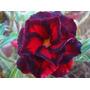 Adenium Obesum 30 Sementes Raras (30 Cores) Rosa Do Deserto