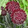 Sementes De Scabiosa Flor Da Saudade Suspiros Gaforinha