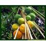 200 Sementes De Mamao Papaia Gigante + Frete Gratis