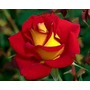 Rosas Raras 20 Sementes Com Cores Diferentes (1 Cor De Cada)