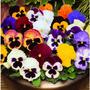 Sementes Amor Perfeito Gg Sortido Flores Jardim Fretegratis