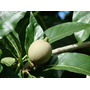 50 Sementes De Jenipapo! Árvore Frutífera Nativa!