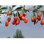 300 Sementes De Goji Berry