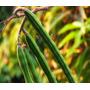 Sementes De Moringa Oleifera Pronta Para Plantio Ou Consumo.