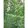 Sementes De Erva Mate - Ilex Paraguariensis - Frescas -