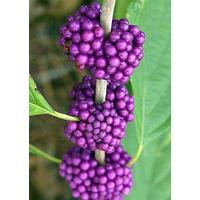 Beautyberry - Amoras Americanas Sementes Mudas Jardim Horta