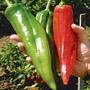 Numex Big Jim Chili Pepper Pimenta Gigante Sementes P/ Mudas