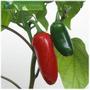 Early Jalapeno Pepper Pimenta Sementes Rápida Colheita