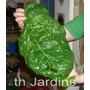 Sementes De Espinafre Gigante - Bulbos Mudas Rizomas Jardim