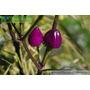 Ecuador Purple Pepper Pimenta Roxa Do Equador Sementes