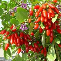 90 Sementes De Goji Berry Do Himalaia. Frete Grátis.
