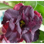 Rosa Do Deserto Kit Extra ( 40 Sementes) Adenium Raras