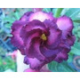 Rosa Do Deserto Kit Roxas ( 6 Cores - 18 Sementes) Adenium