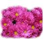 Sementes Da Flor Crisântemo Dobrado Sortido - Frete Grátis