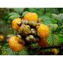 Amora Amarela - Yellow Himalayan Raspberry Sementes