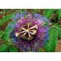Maracujá Do Mato Passiflora Cincinatta Sementes Para Mudas