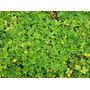 01 Kg De Sementes Amendoim Forrageiro (semente Importada)