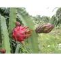 Muda De Pitaya Cebra Da Nicarágua Polpa Vermelha - Raridade