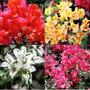 Bonsai Flores 5 Glicínea Wisteria 5 Azaléia 10 Primavera