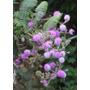 Semente Da Exótica Mimosa Pudica-sensitiva-dormideira