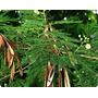 500 Sementes De Leucena - Frete Grátis