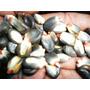 Sementes Do Milho Negro Peruano - Maiz Negro- Verdadeiro!!
