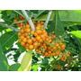 250 Sementes/ Fruta De Sabiá/atrai 50 Variedades De Pássaros