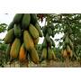 100 Sementes Mamão Formosa Gigante Mais Frete Gratis #13uk