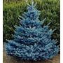 Sementes Pinheiro Azul Bonsai Planta Jardim Árvore