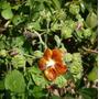 Abutilon Bronze-ouro Auritum Flor Hibisco Sementes Pra Mudas