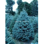 15 Sementes Pinheiro Azul Petróleo Colorado Bonsai Arvores