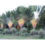 Árvore Do Viajante Ravenala Madagascariensis 50 Sementes
