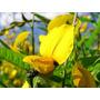 Crotalária Flores Anti Dengue 10.000 Sementes Mudas + Manual