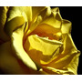 15 Sementes Rosa Amarela Ouro Rara Importada Frete/grátis
