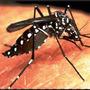 10000 Sementes Crotalária Contra Dengue Zika Microcefalia Hd