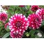 30 Sementes De Zinia Flor De Dalia Vermelha