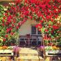10 Sementes Rosa Trepadeira - Chinensis Flor Jardim Planta