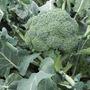 Sementes De Brócolis Híb. Corato Env. C/ 2.500 Sementes
