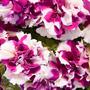 Petúnia Pendente Dobrada Híbrida 10 Sementes Flor Para Muda