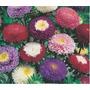 150 Sementes Da Flor Rainha Margarida Pompom Frete Grátis